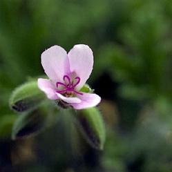 'Citronella' Scented Geranium