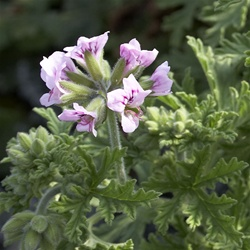 'Citronella' Scented Geraniums