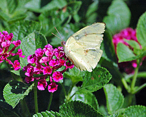 How To Build A Better Butterfly Garden The Herb Exchange