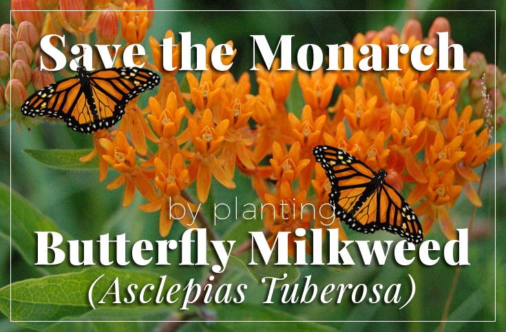 Save the Monarch Butterfly, Plant Butterfly Milkweed