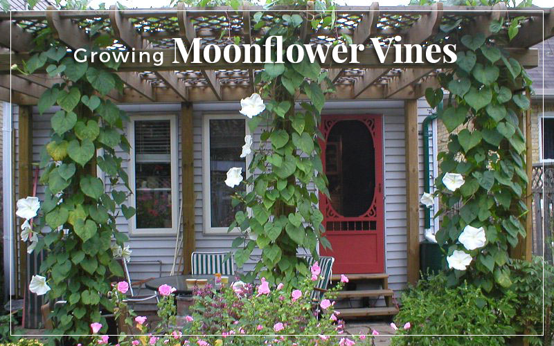 Growing Moonflower Vines in Your Garden