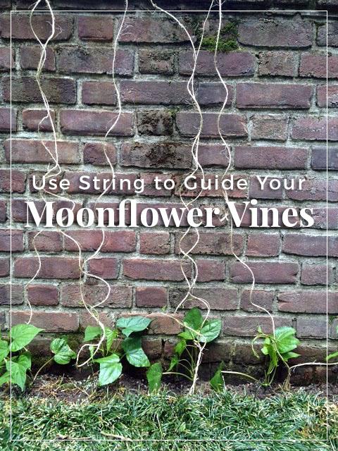 guide-moonflower-vines-string