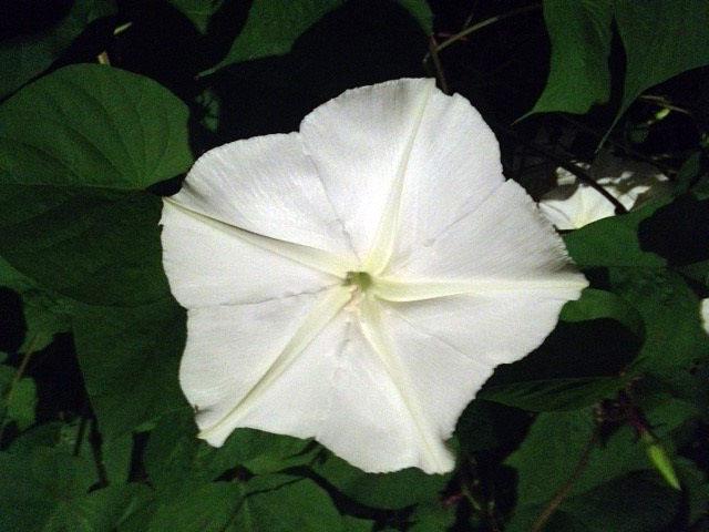 moonflower-flower