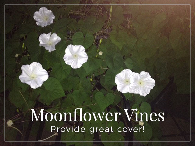 moonflower-vines-great-cover