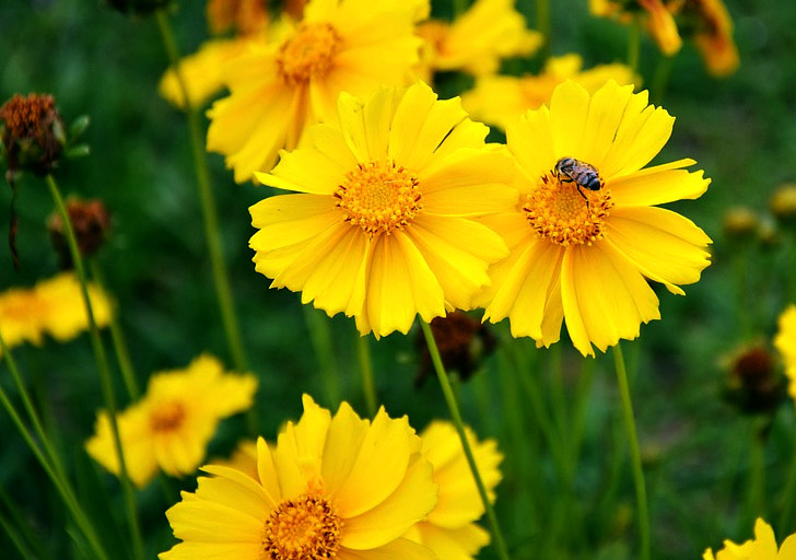 native-coreopsis
