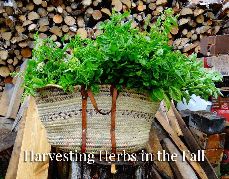 herbs-harvesting-fall