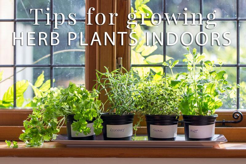 Indoor Herb Plants: Don't Go… Grow!