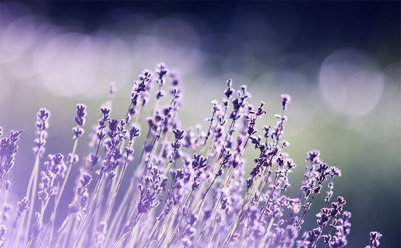 How to Choose the Right Lavender for Your Garden