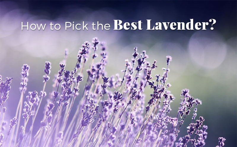 How To Choose The Right Lavender For Your Garden The Herb Exchange