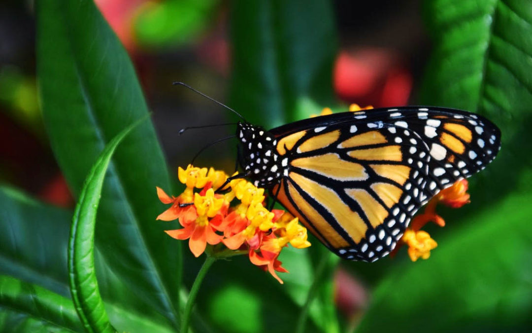 No Milkweed, No Monarchs: Why Asclepias Plants Are So Very Important!