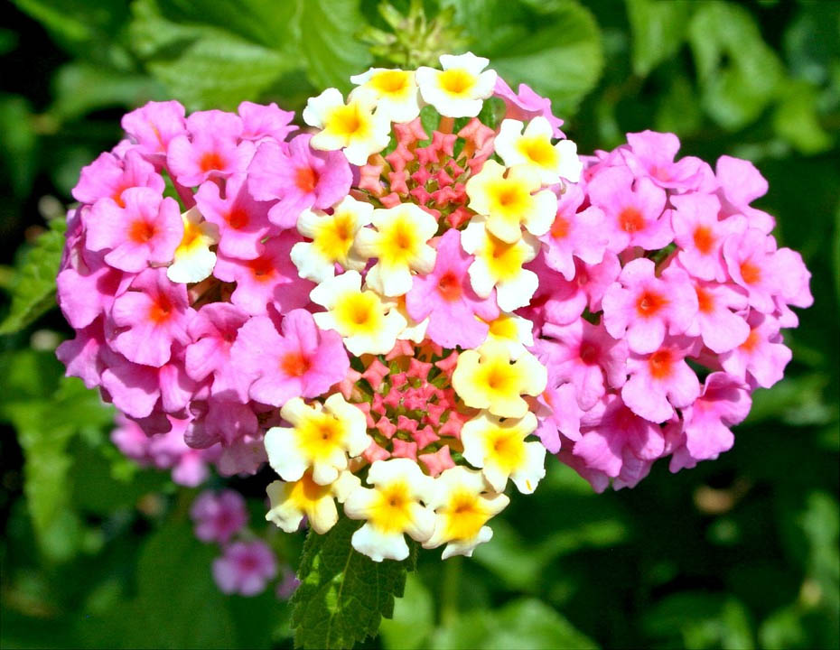 Everything You Want To Know About Growing Using Lantana The Herb