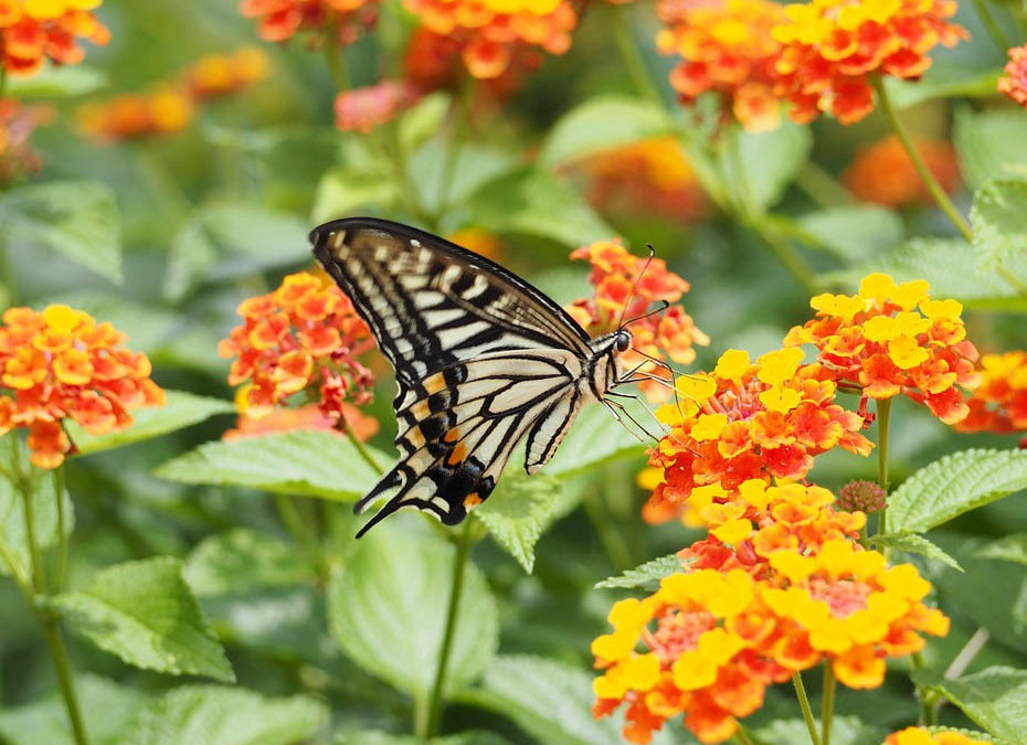 Everything You Want to Know About Growing & Using Lantana