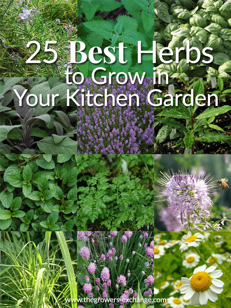 25 Best Herbs to Grow in Your Kitchen Garden - The Herb Exchange