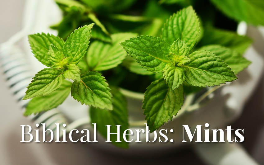 Biblical Herbs: Mints in the Bible