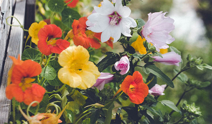 Grow an Edible Flower Garden