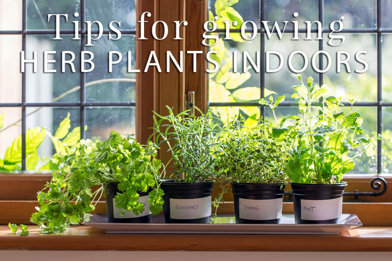 Tips For Growing Herb Plants Indoors