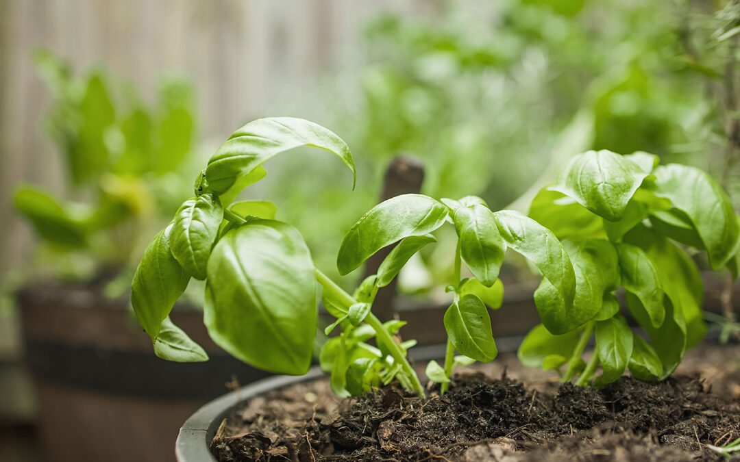 How to Extend the Life of Annual Herbs & When to Call It Quits